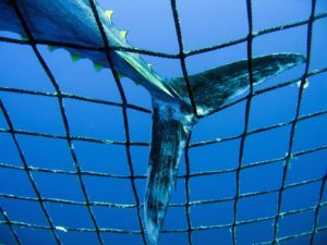 Captive Bluefin Tuna inside a transport cage. Greenpeace is calling on the countries of the Mediterranean to protect bluefin tuna with marine reserves in their breeding and feeding areas. (icoonbeeld Greenpeace Nederland, oceanen)