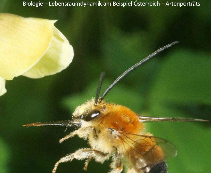 Wilde Bienen Biologie – Lebensraumdynamik am Beispiel Österreich – Artenporträts